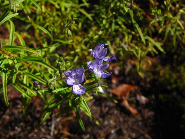 Trichostema setaceum Flowers