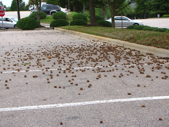 Quercus acutissima Tires Crunch Through Hundreds of Acorns