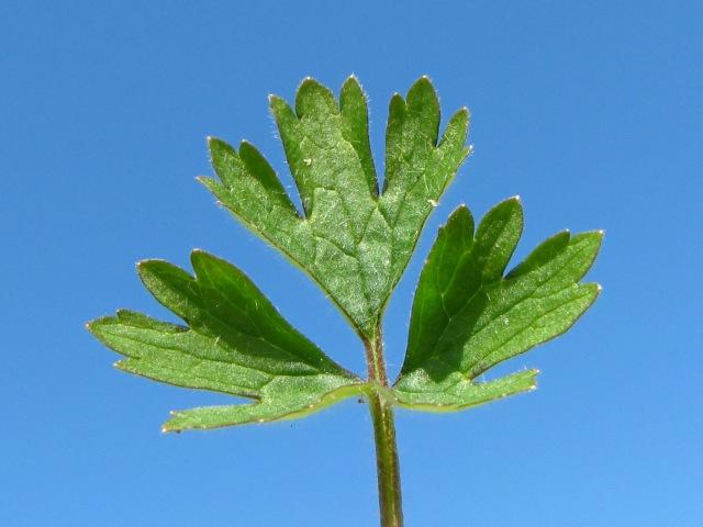 Ranunculus bulbosus Bulbous Buttercup Lobed Leaves